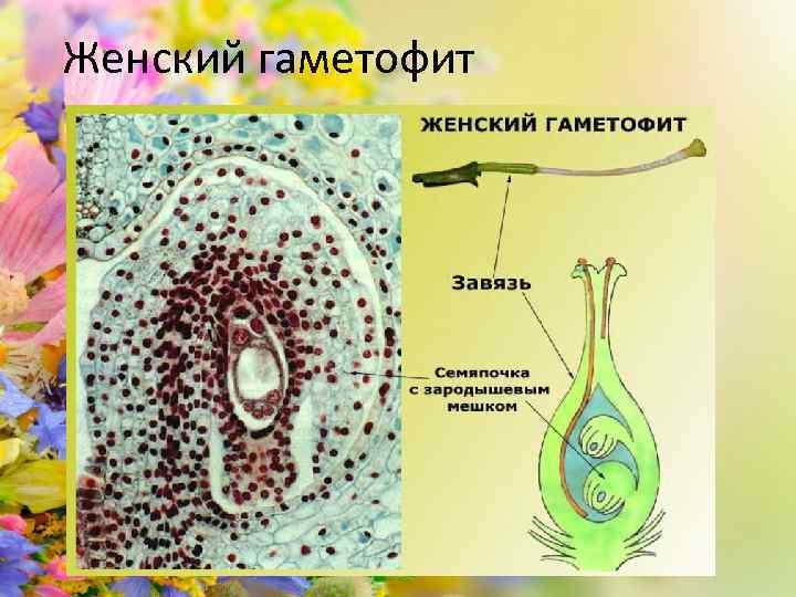 Женский гаметофит