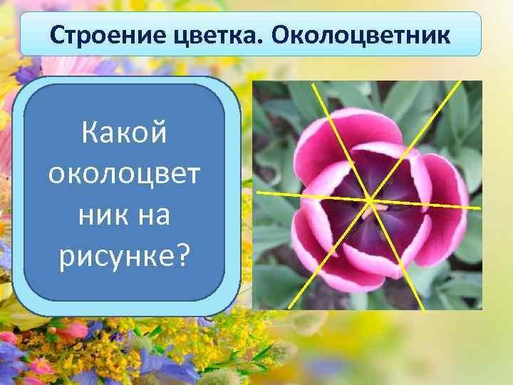 Строение цветка. Околоцветник Какой околоцвет ник на рисунке? Если через листочки околоцветника можно провести