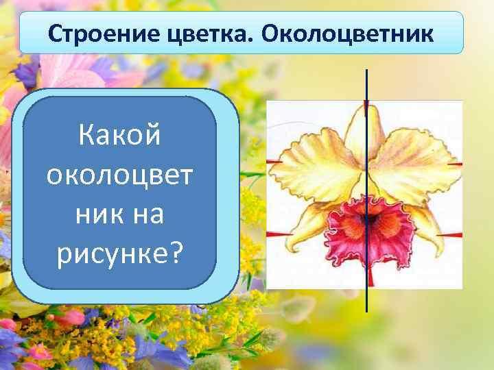 Строение цветка. Околоцветник Какой Цветки, через которые можно провести одну околоцвет плоскость симметрии, ник