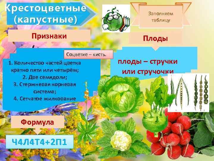 Крестоцветные (капустные) Признаки Соцветие – кисть. 1. Количество частей цветка кратно пяти или четырём;
