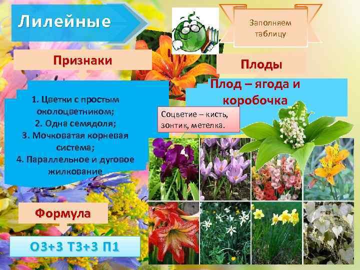 Лилейные Признаки 1. Цветки с простым околоцветником; 2. Одна семядоля; 3. Мочковатая корневая система;