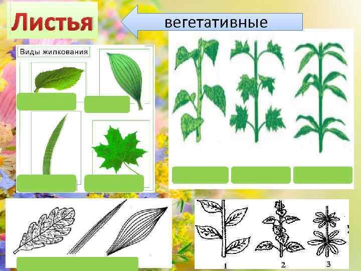 Листья вегетативные