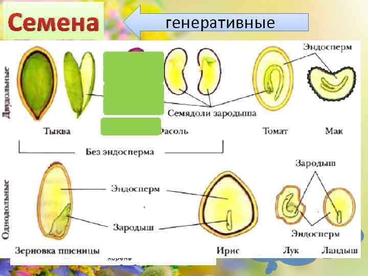 Семена генеративные Какие бывают семена?