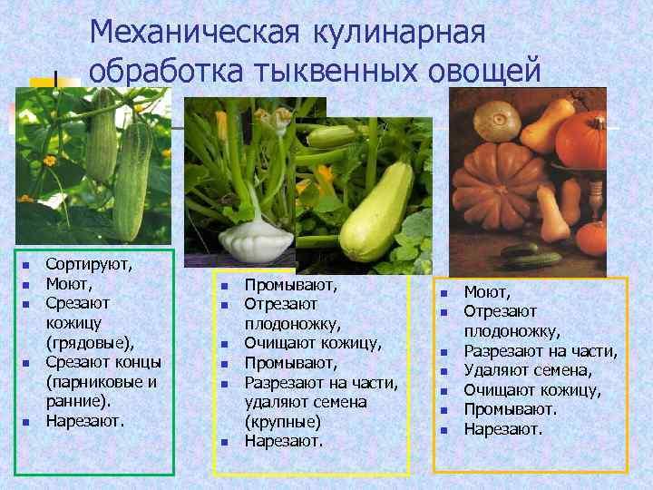 Механическая кулинарная обработка тыквенных овощей n n n Сортируют, Моют, Срезают кожицу (грядовые), Срезают