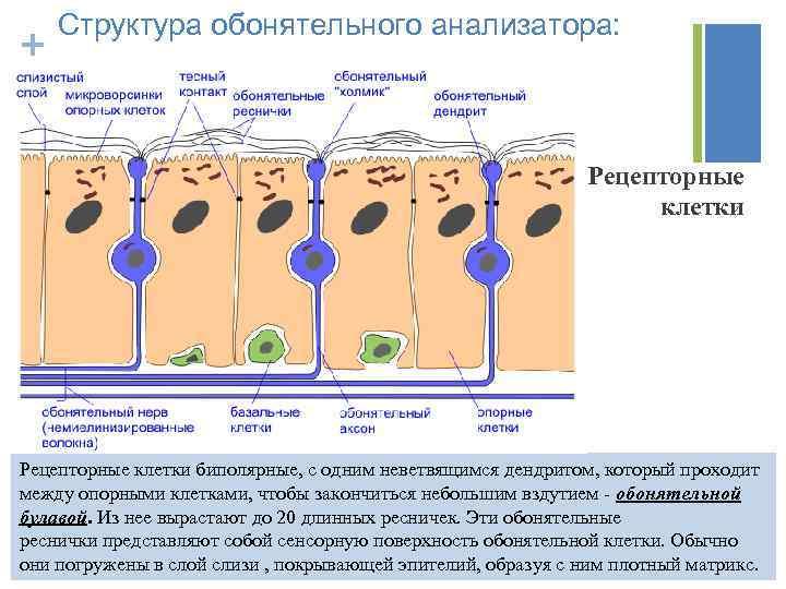 + Структура обонятельного анализатора: Рецепторные клетки биполярные, с одним неветвящимся дендритом, который проходит между