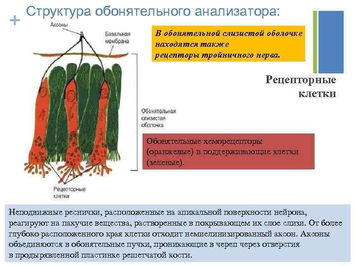 + Структура обонятельного анализатора: В обонятельной слизистой оболочке находятся также рецепторы тройничного нерва. Рецепторные