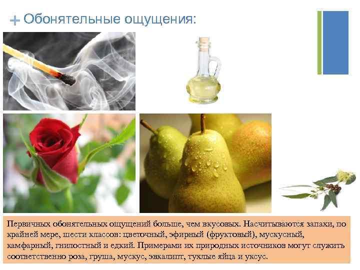 + Обонятельные ощущения: Первичных обонятельных ощущений больше, чем вкусовых. Насчитываются запахи, по крайней мере,