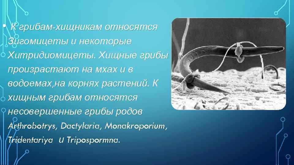 • К грибам-хищникам относятся Зигомицеты и некоторые Хитридиомицеты. Хищные грибы произрастают на мхах