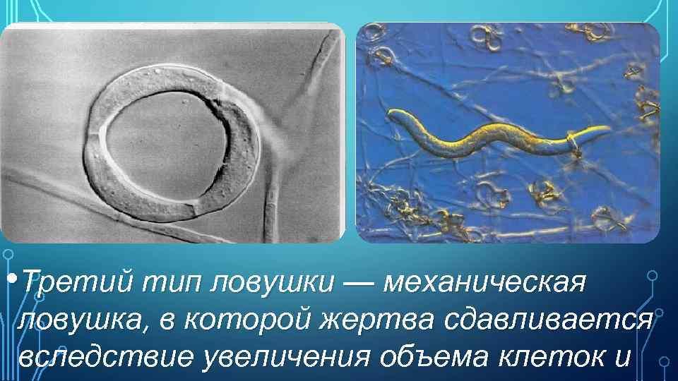 • Третий тип ловушки — механическая ловушка, в которой жертва сдавливается вследствие увеличения