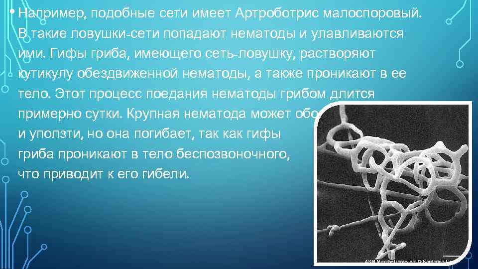 • Например, подобные сети имеет Артроботрис малоспоровый. В такие ловушки-сети попадают нематоды и