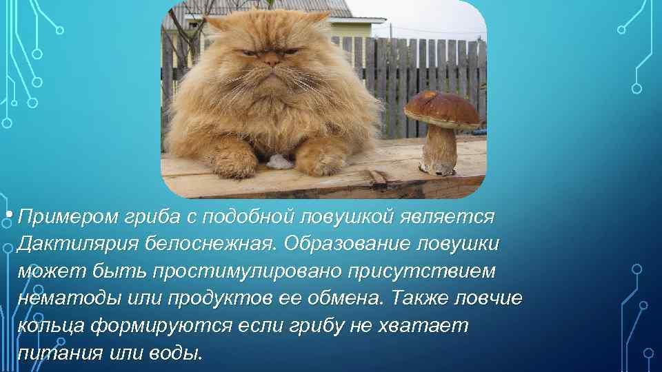 • Примером гриба с подобной ловушкой является Дактилярия белоснежная. Образование ловушки может быть
