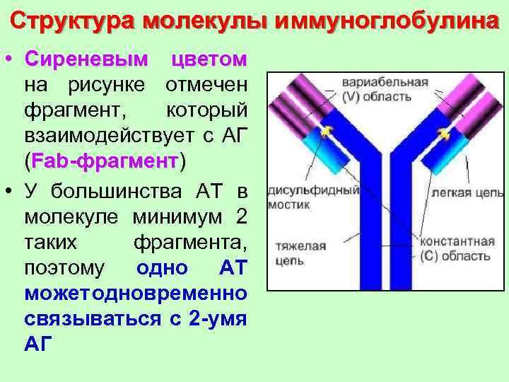 Схема строения молекулы иммуноглобулина