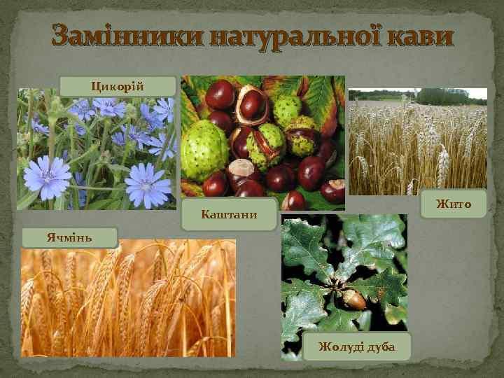 Замінники натуральної кави Цикорій Жито Каштани Ячмінь Жолуді дуба