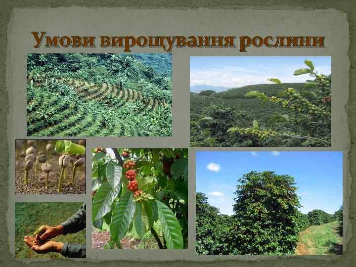 Умови вирощування рослини