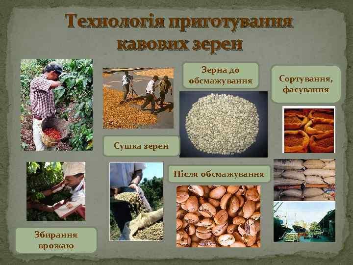Технологія приготування кавових зерен Зерна до обсмажування Сушка зерен Після обсмажування Збирання врожаю Сортування,