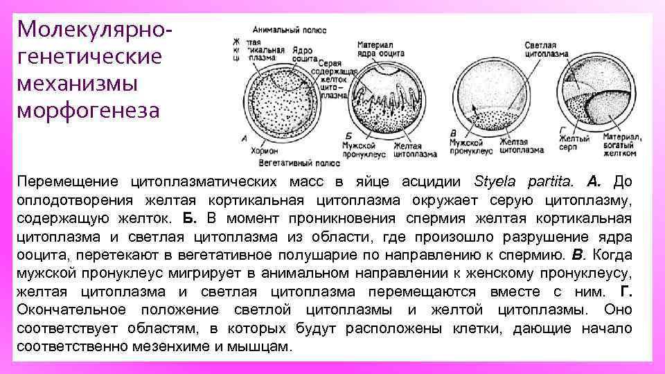 Молекулярно генетические механизмы морфогенеза Перемещение цитоплазматических масс в яйце асцидии Styela partita. А. До