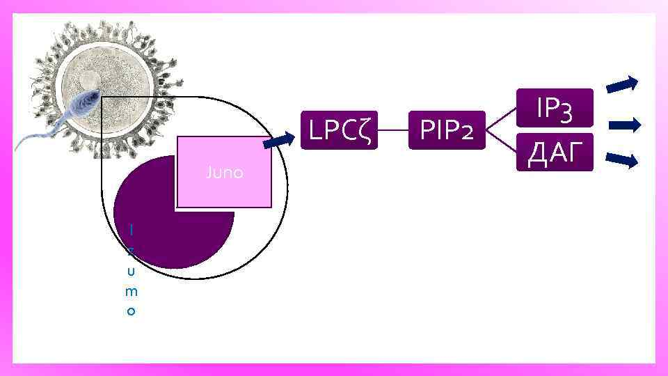 LPCζ Juno I z u m o PIP 2 IP 3 ДАГ
