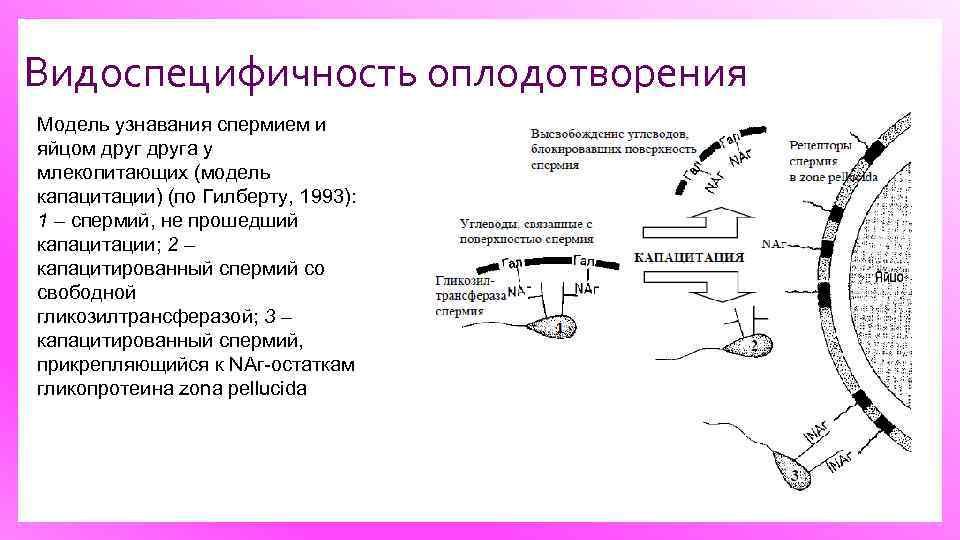 Видоспецифичность оплодотворения Модель узнавания спермием и яйцом друга у млекопитающих (модель капацитации) (по Гилберту,