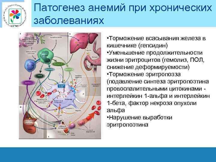 Патогенез анемий при хронических заболеваниях • Торможение всасывания железа в кишечнике (гепсидин) • Уменьшение