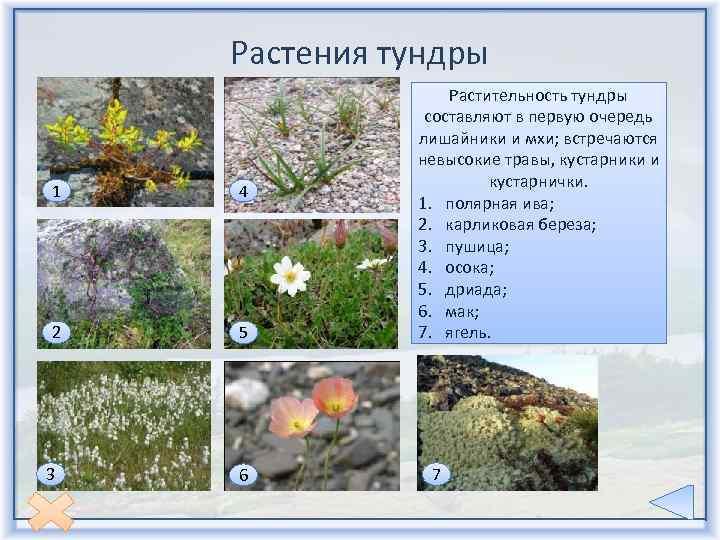 Растения тундры фото и описание