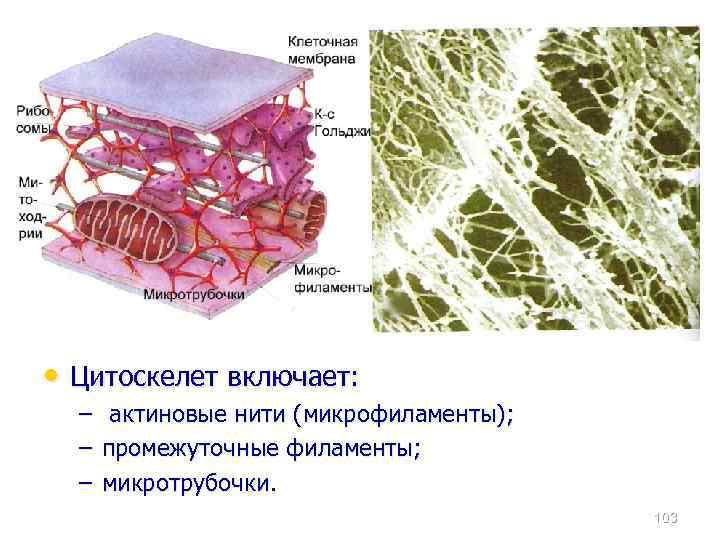 • Цитоскелет включает: – актиновые нити (микрофиламенты); – промежуточные филаменты; – микротрубочки. 103