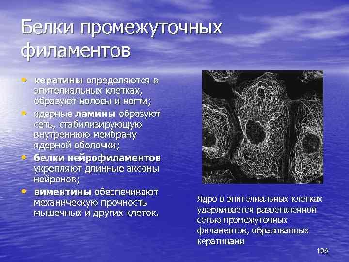 Белки промежуточных филаментов • кератины определяются в • • • эпителиальных клетках, образуют волосы