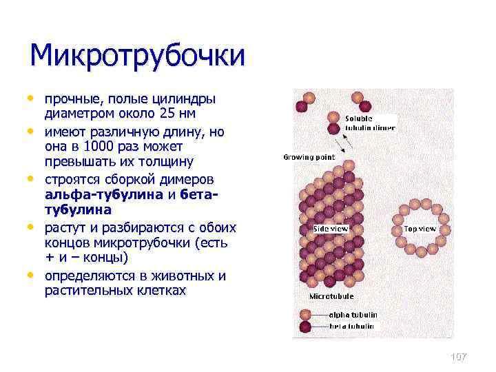 Микротрубочки • прочные, полые цилиндры • • диаметром около 25 нм имеют различную длину,
