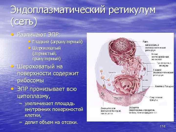 Эндоплазматический ретикулум (сеть) • Различают ЭПР: • Гладкий (агранулярный) • Шероховатый (зернистый, гранулярный) •