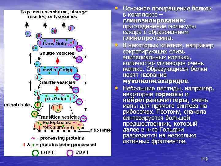 • Основное превращение белков • • в комплексе – гликозилирование: присоединение молекулы сахара