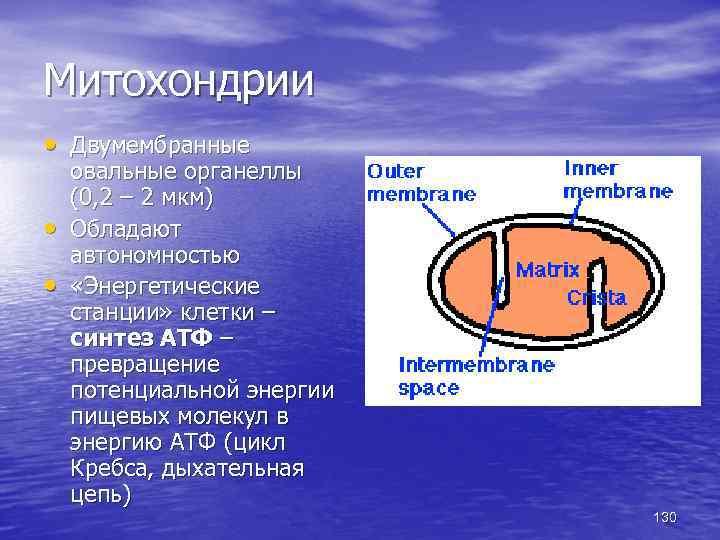 Митохондрии • Двумембранные • • овальные органеллы (0, 2 – 2 мкм) Обладают автономностью