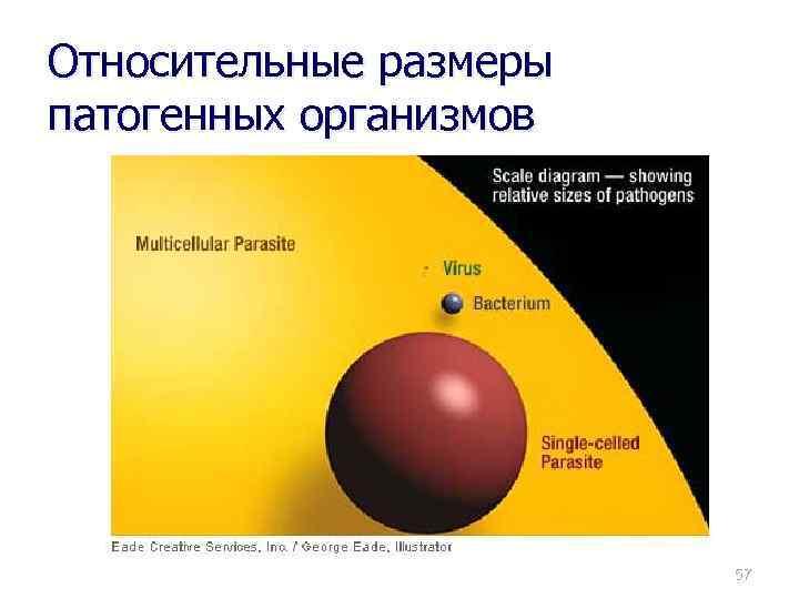 Относительные размеры патогенных организмов 57