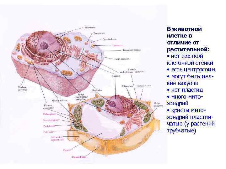 В животной клетке в отличие от растительной: • нет жесткой клеточной стенки • есть