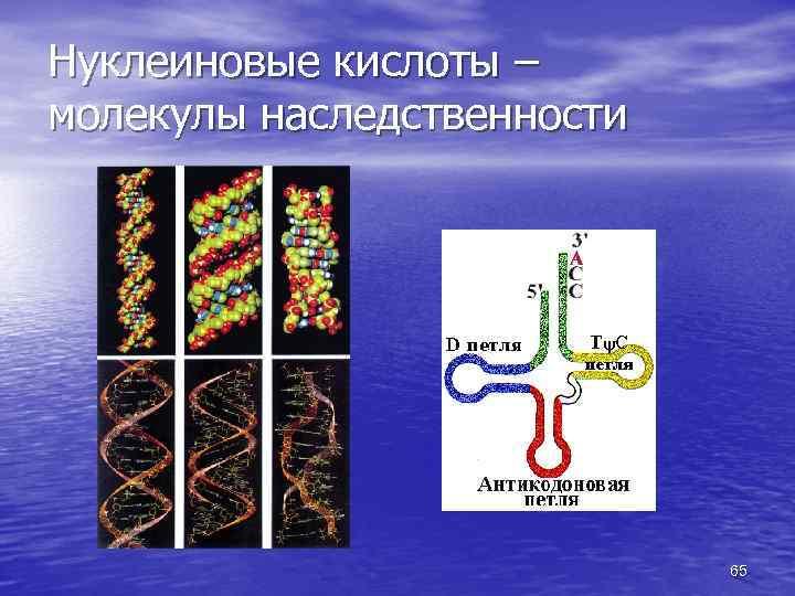 Нуклеиновые кислоты – молекулы наследственности 65
