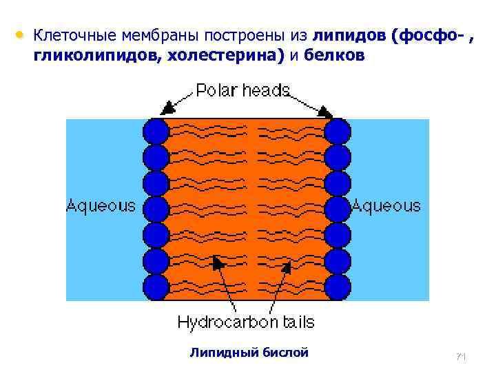 • Клеточные мембраны построены из липидов (фосфо- , гликолипидов, холестерина) и белков Липидный