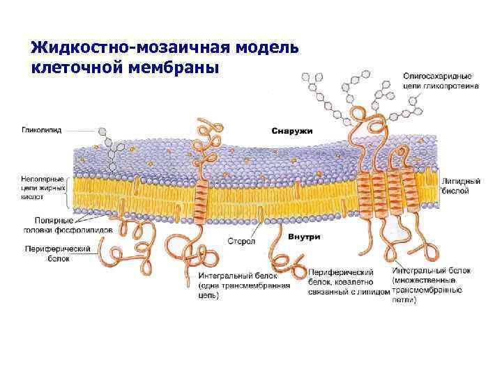 Жидкостно-мозаичная модель клеточной мембраны