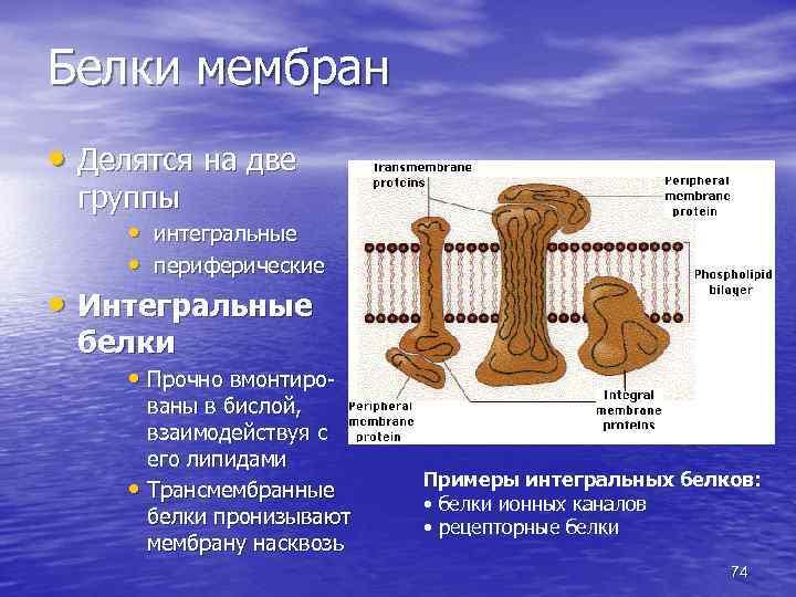 Белки мембран • Делятся на две группы • интегральные • периферические • Интегральные белки