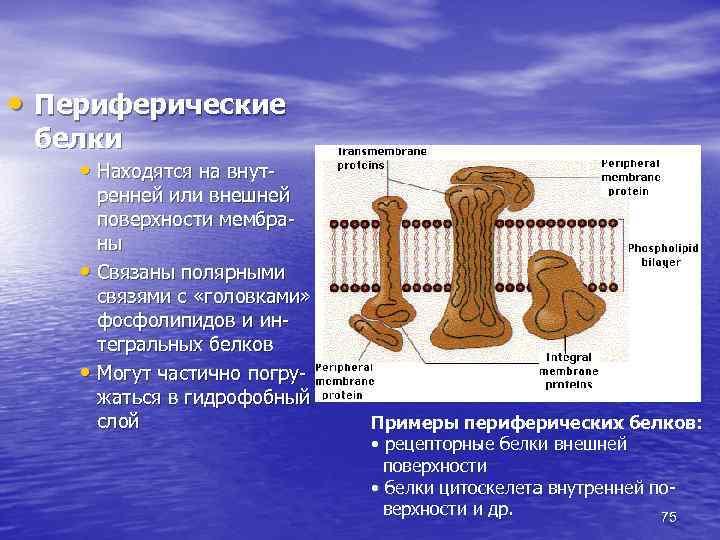 • Периферические белки • Находятся на внут- ренней или внешней поверхности мембраны •
