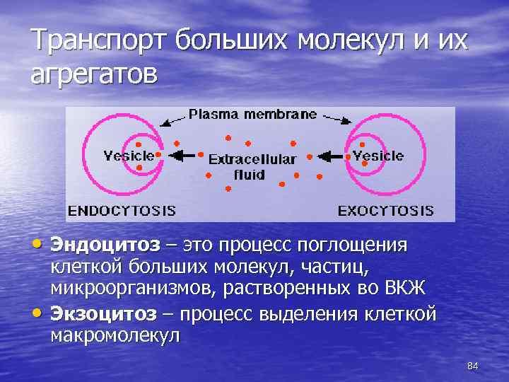 Транспорт больших молекул и их агрегатов • Эндоцитоз – это процесс поглощения • клеткой