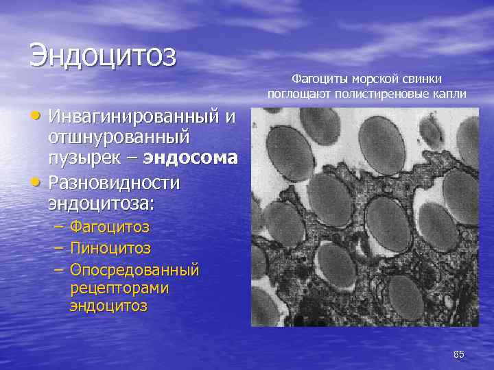 Эндоцитоз • Инвагинированный и • Фагоциты морской свинки поглощают полистиреновые капли отшнурованный пузырек –