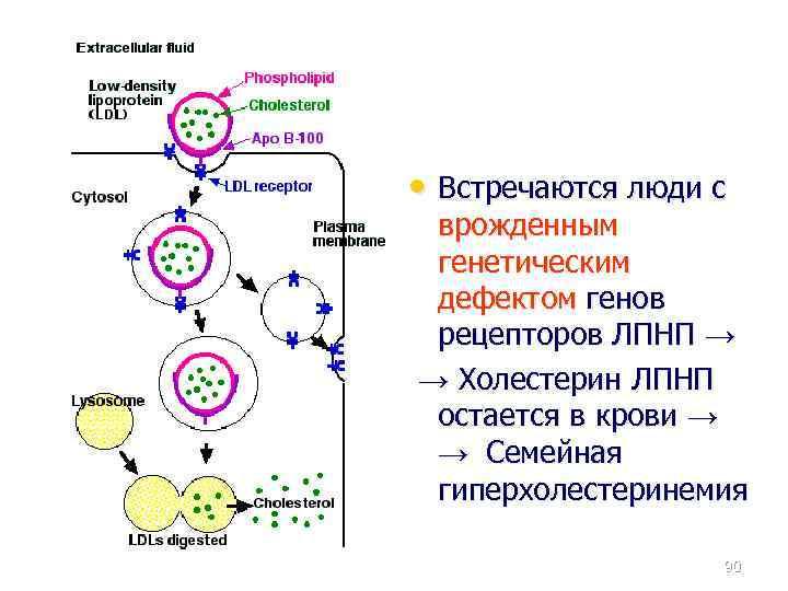 • Встречаются люди с врожденным генетическим дефектом генов рецепторов ЛПНП → → Холестерин