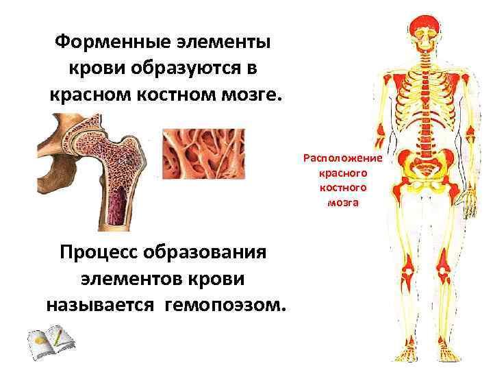 костный мозг расположение картинка теплые по-настоящему уютные