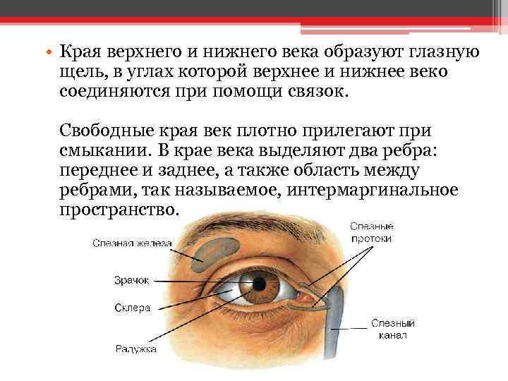 • Края верхнего и нижнего века образуют глазную щель, в углах которой верхнее