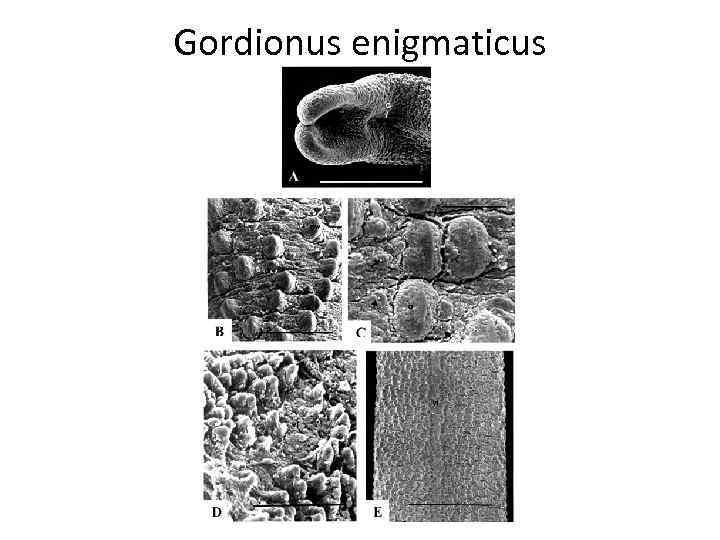 Gordionus enigmaticus
