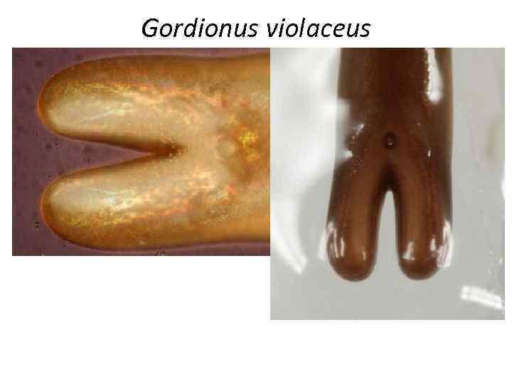 Gordionus violaceus
