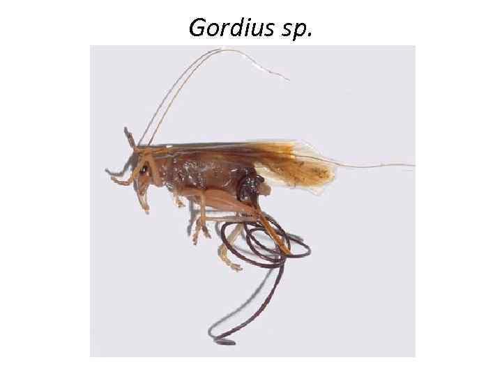 Gordius sp.