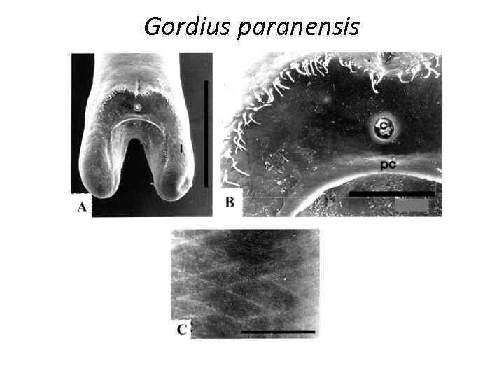 Gordius paranensis