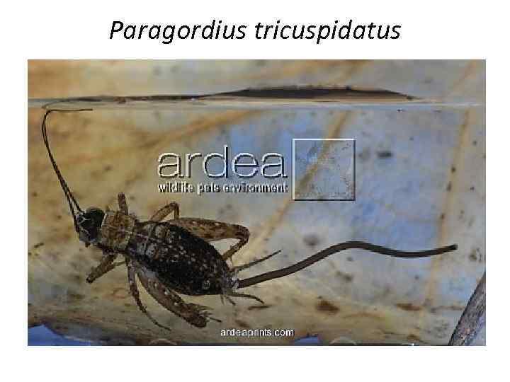 Paragordius tricuspidatus