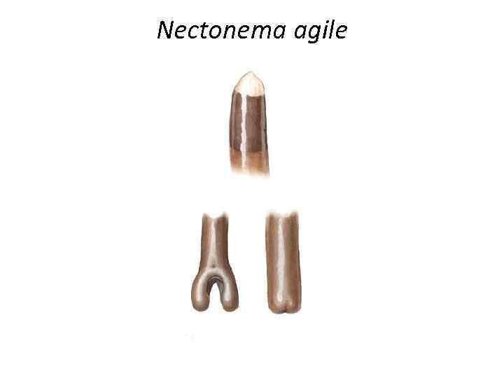 Nectonema agile