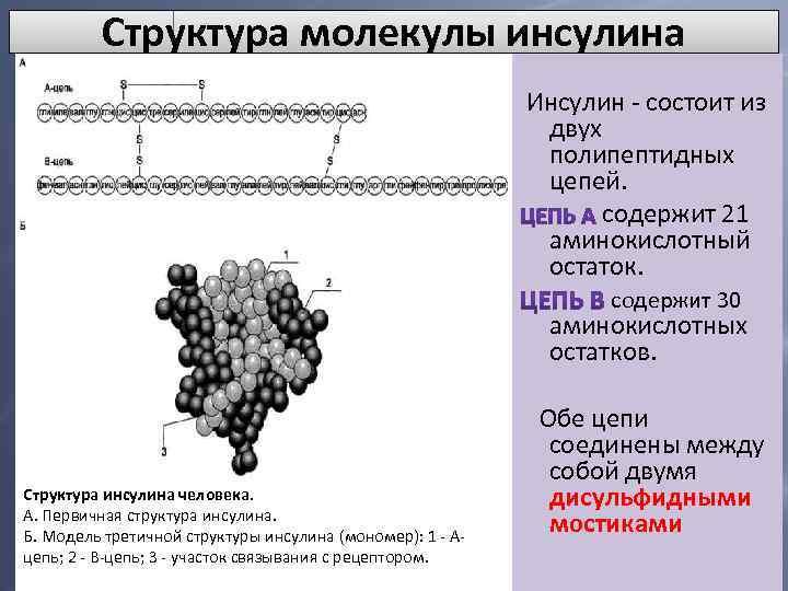 Молекула инсулина состоит из