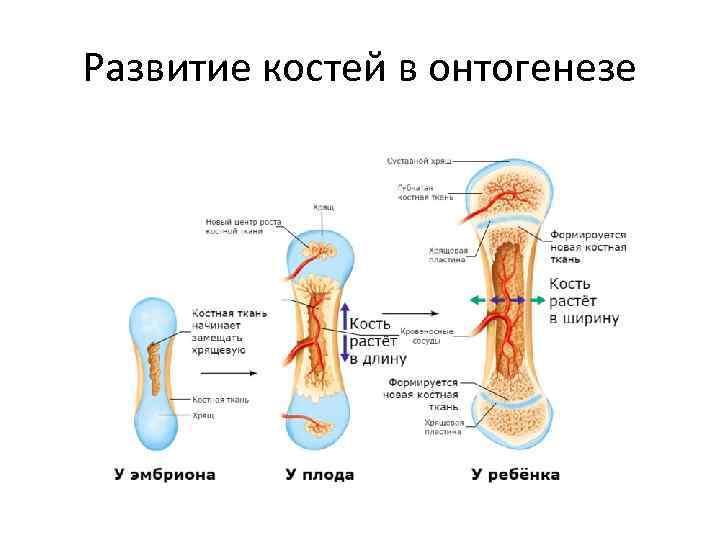 Развитие костей в онтогенезе